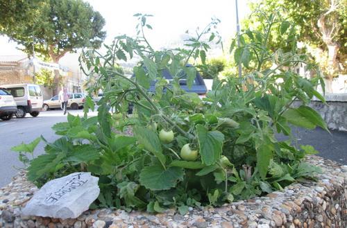 Une belle petite récolte de tomates dans les rues du village.